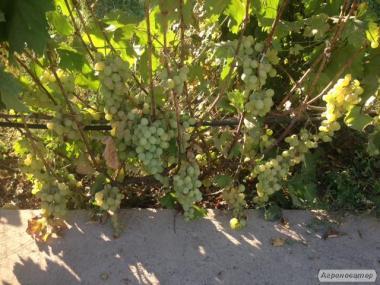 Продаю саджанці стосовного винограду.