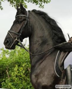 Хорошо обученная лошадь, чистокровный 4-летняя кобыла фрійська