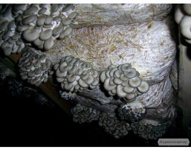 Мицелий Вешенки, Шампиньонов от 1 кг