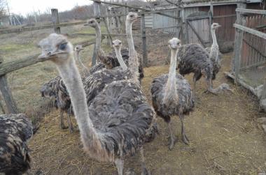 продаю страусята