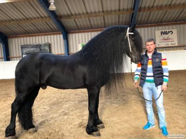 Продажа Фризских лошадей наличие в Киеве !!!
