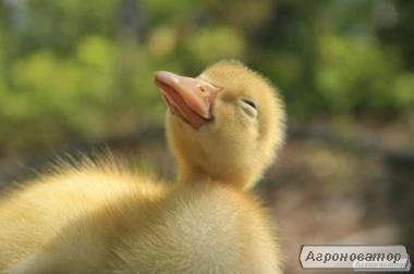 Суточные и подрощенные утки