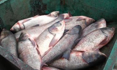 Продам: Жива риба товстолобик оптом живою вагою зі свого ставка.