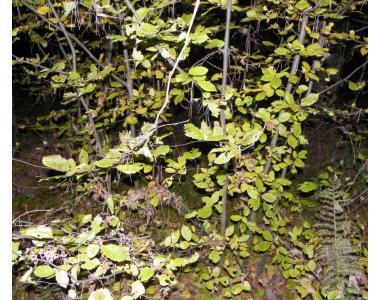 Саджанці граба висотою 1-4 метри.