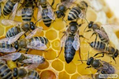 Продам пчеломатки тип