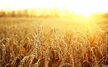 Закуповуємо пшеницю будь-якого класу дорого! по всій Україні