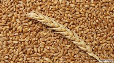 Продам пшеницу опт