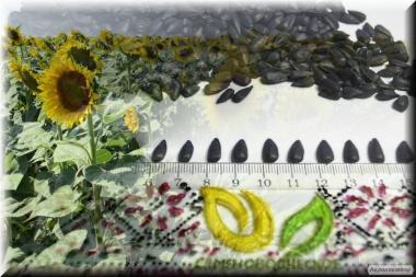 Семена подсолнечника под Евро-Лайтинг от производителя