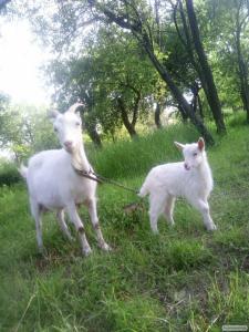 Продаю козенят і дійну козу!