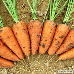 Продам моркву сорту Шантоне