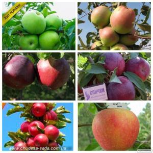 Саджанці яблуні від виробника, опт та роздріб понад 65 сортів.