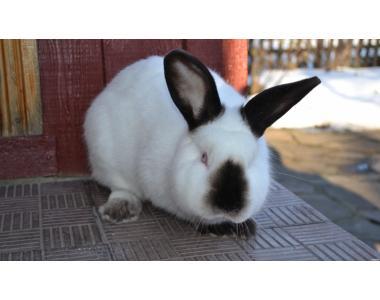 кролики Калифорнийские, НЗК, НЗБ, БСС