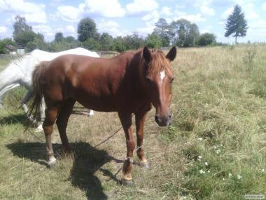 продаем лошадей