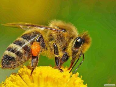 Продам бджолопакети 1000шт.