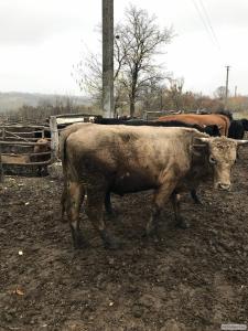 Продам Биків