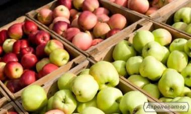 Продам гарні і крупні яблука з власного саду, різних сортів, оптом