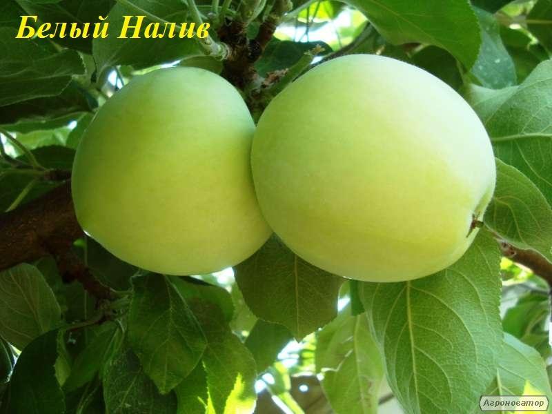 Саженцы яблони сорта Белый Налив, от производителя