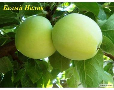 Саджанці яблуні сорту Білий Налив, від виробника