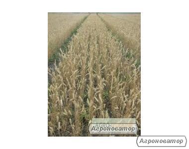 Насіння пшениці озимої - сорт Нота. Еліта й 1 репродукція