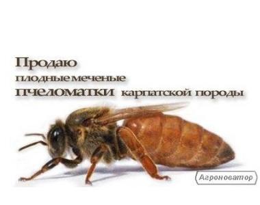Високоякісні плідні мічені бджоломатки карпатської породи