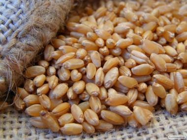 Продам насіння твердої озимої пшениці