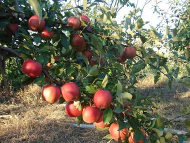 Саджанці яблуні сортів Хоней Крісп, Камео, Топаз