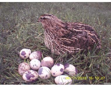 Яйце перепелине опт і роздріб