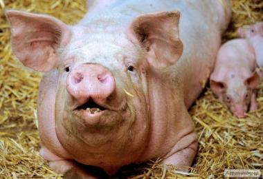 Продаж свиней живою вагою м'ясної породи