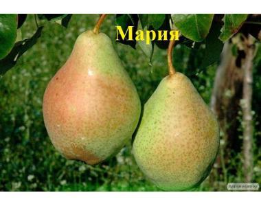 Саженцы груши Мария прекрасного качества от производителя