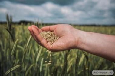 Продам семена жита
