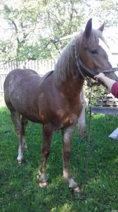 Продам Новоолександровського лошака