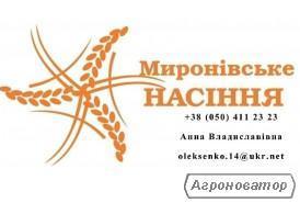 Продам семена проса Мироновское 51, Козацкое, 1 репродукция