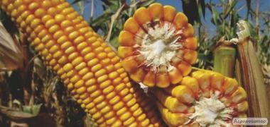 ТК 195 ФАО 230-240 семена гибрида кукурузы венгерской селекции