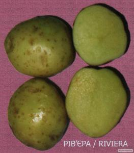 Продам насіннєву картоплю сорт Рів'єра, ІІ-га репродукція