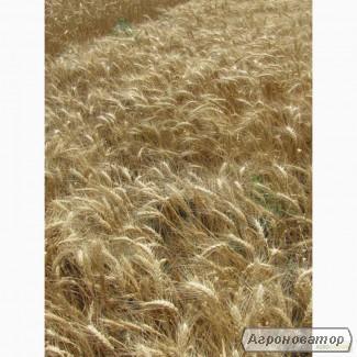 Насіння озимої пшениці - сорт Єрмак. Еліта та 1 репродукція