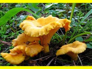 Мицелий Лисички желтой / Лисичка обыкновенная (Cantharellus cibarius)