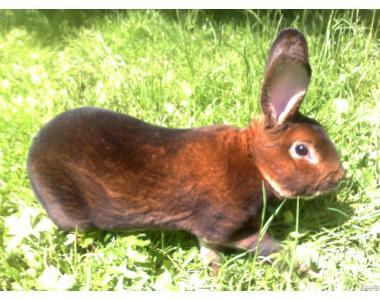 Продаються кролики породи Рекс