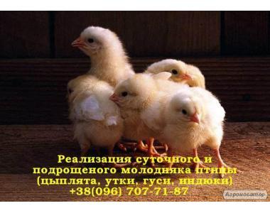 Реалізація добових курчат бройлера РОСС 308