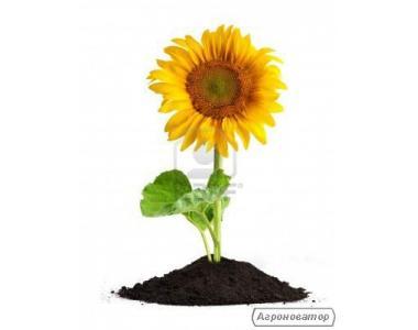Семена подсолнечника Сингента