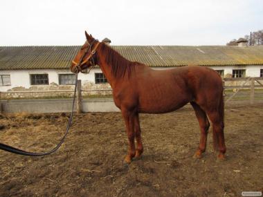 Кобыла 2012 г.р. лошадь с родословной