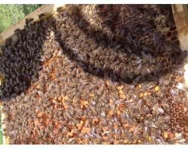 Бджолопакети Карпатка