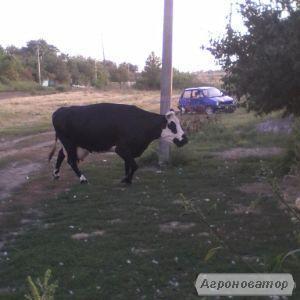 продам корову дійну, тільну
