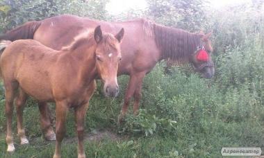 продаю маленку кобилу 7.місяців мае