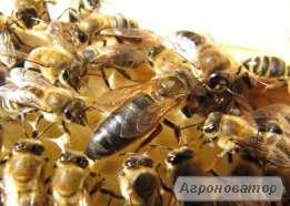 Бджоломатки породи Карніка плідні