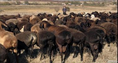 Ягнята гиссарской породы, овцы и бараны