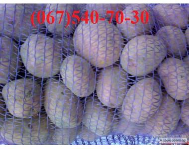 продам продовольственный картофель сорта Белла Росса и Гранада
