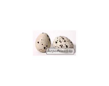 Перепілки та перепелині яйця