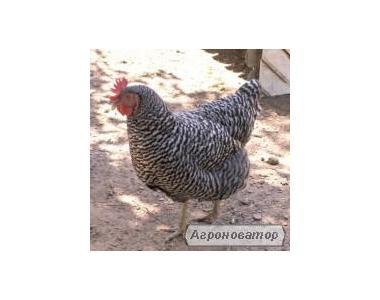 Цыплята Доминанта суточные и подрощенные