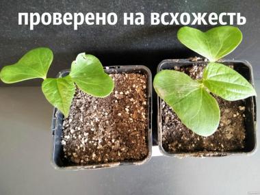 Хлопок семена (10 штук) хлопчатник обыкновенный (Gossypium hirsutum)