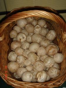 Гриб веселка ( свіжі яйця )